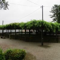松坂城跡の紫藤