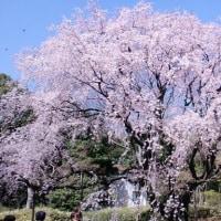 六義園のしだれ桜は3分咲き