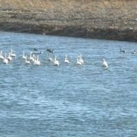 高崎近辺今冬の白鳥飛来 H-29- 1- 6