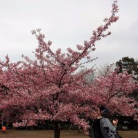 西郷山公園の河津桜  2017初春