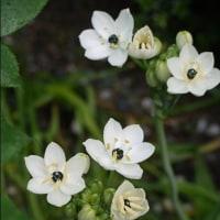バラの脇で咲く白い花