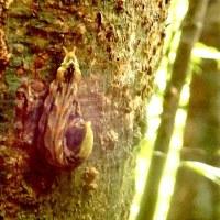 アマミアラカシの若葉に多い  カワムラトガリバ