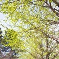 2017.04.16 練馬区 光が丘公園: 新緑のイチョウ並木