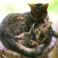 キジトラ三兄妹、9歳になりました。