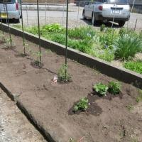 ほんの少し野菜を植えてみました。