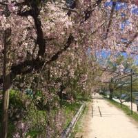 しだれ桜がきれいですっ!