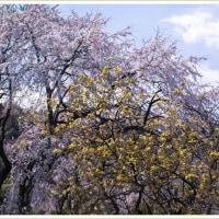 「ガーデンショップさんぽ道」のしだれ桜