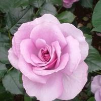 薔薇の名は。。。