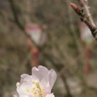 染井吉野に似た早咲桜