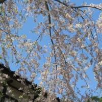 みちのく桜旅 2・・・・・松島