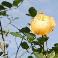 冬の薔薇はいつまで咲くのか