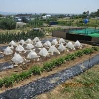 野菜の植栽・・・