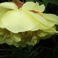 あんなに庭を見たがっていた「あなた」 素晴らしい「牡丹」を見せたかった…