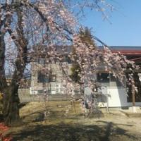 廣瀬神社の桜