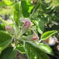 リンゴの花 開花