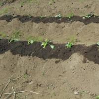 娘の庭の菜園へ芋ヅルを植えに・・・