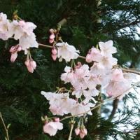 高遠小彼岸桜3部咲き