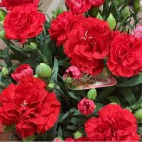 赤いカーネーションの花言葉