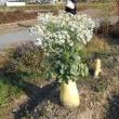 朝の散歩で大根の花をみました