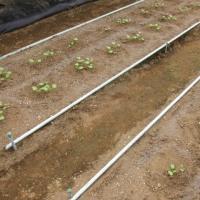 大根の土寄せと追肥をしました。