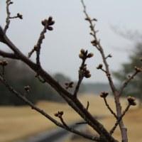 3月29日(水曜)  エァーレーション作業及び桜だより