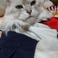 セーラー服着て寝る猫