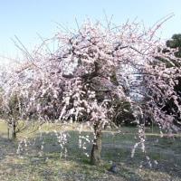 梅の花と、ゆき♪
