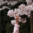 満開の桜に触れてみたい
