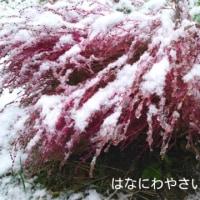 何度も雪の下になったコキアの収穫