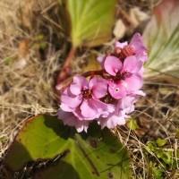 ヒマラヤ雪ノ下に二つ目の花も咲いた。ボケの花も増えてきた。