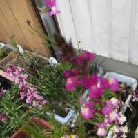 神社のマユミ・街の花