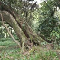 篠窪(しのくぼ)の「三嶋神社 椎の木杜」で先人の歌を聞く