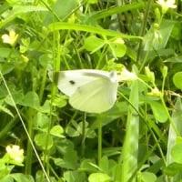 カタバミの花にモンシロチョウ