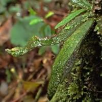 奄美大島のシダ:ヒメウラボシ(絶滅危惧Ⅱ類)