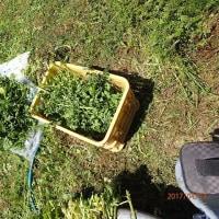 ブルーベリー畑でクレソンの栽培を試みる