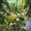 旬のトマトとキューリなど