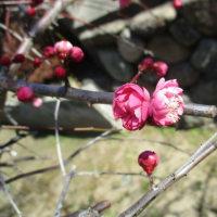 一御田神社の枝垂れ梅