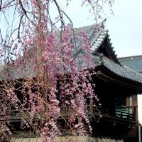 大國魂神社の枝垂れ桜
