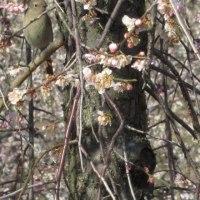3月22日  春華にジョウビタキ