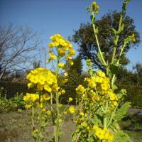 青空にピッタリ 寒咲菜の花