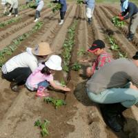サツマイモ植え付け