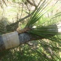 松の接ぎ木