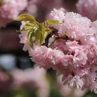 兼六園と関山桜