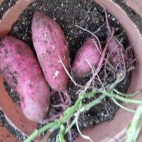 鉢植えのさつま芋