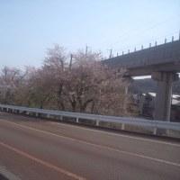 二日見ぬ間の桜!