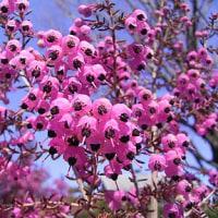 季節の花「蛇の目エリカ(じゃのめエリカ)」
