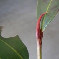 冬芽と葉痕:サカキ・・・