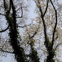 大樹コブシ