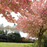 八重桜の定番地(磐西C57)