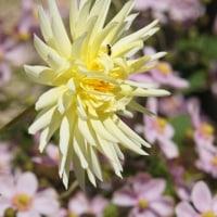 ガーデンミュージアム比叡 7 花の庭 秋明菊